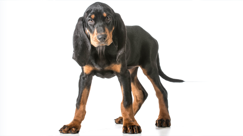Black and Tan Coonhound 8