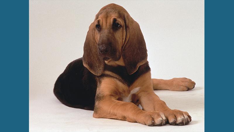 Bloodhound 1