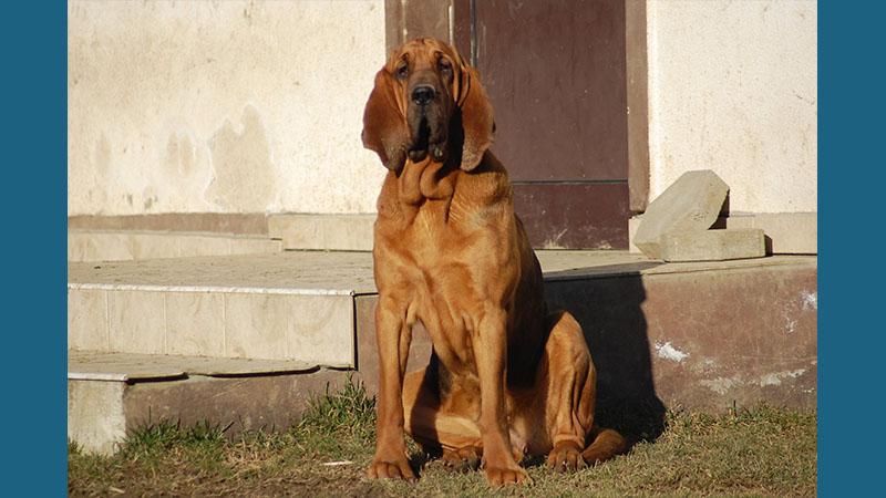 Bloodhound 15