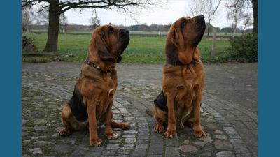 Bloodhound 16