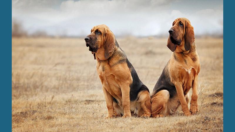 Bloodhound 5