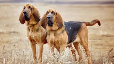 Bloodhound 6