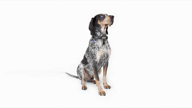 Bluetick Coonhound 1