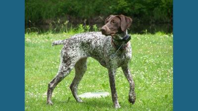 Bluetick Coonhound 11