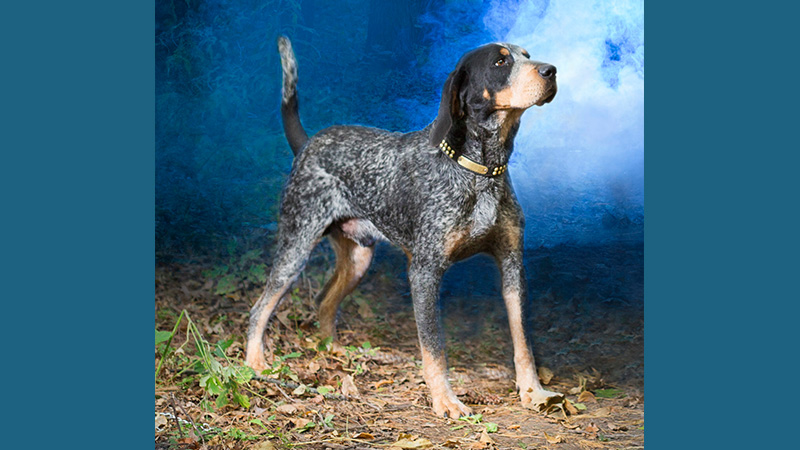 Bluetick Coonhound 12