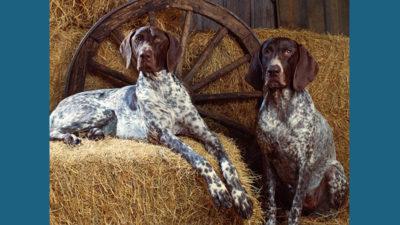 Bluetick Coonhound 2