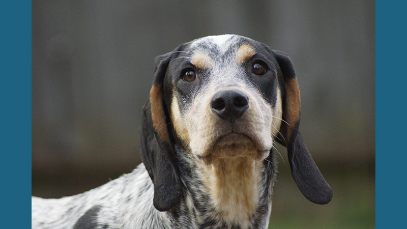 Bluetick Coonhound 3