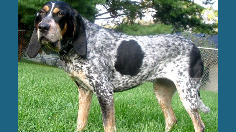 Bluetick Coonhound 4