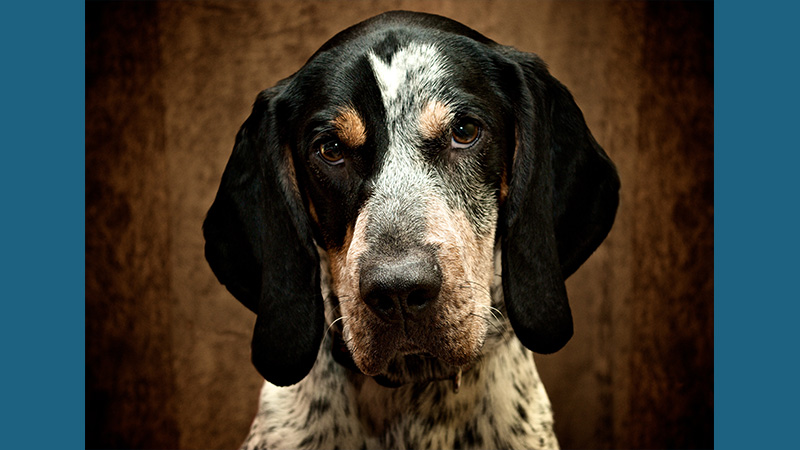 Bluetick Coonhound 7