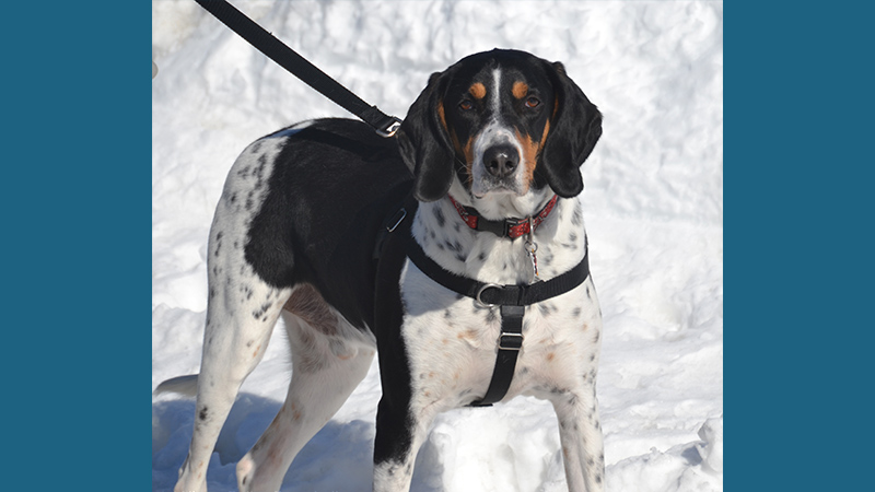 Bluetick Coonhound 9