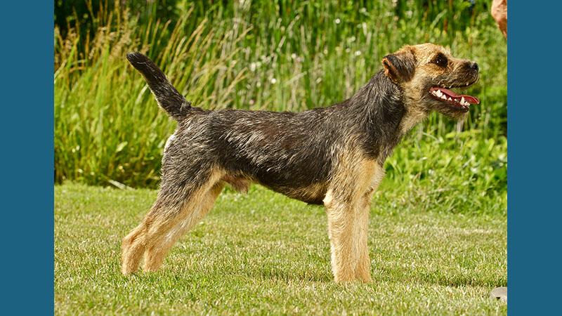 Border Terrier 10