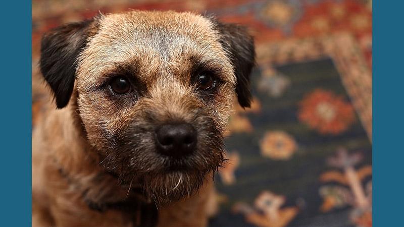 Border Terrier 11