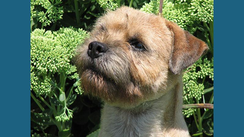 Border Terrier 14