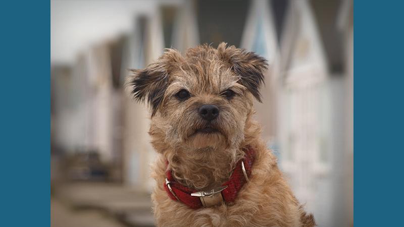 Border Terrier 2