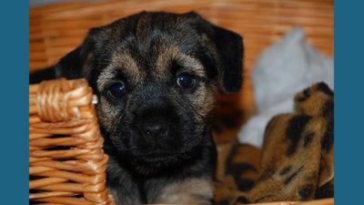 Border Terrier 5