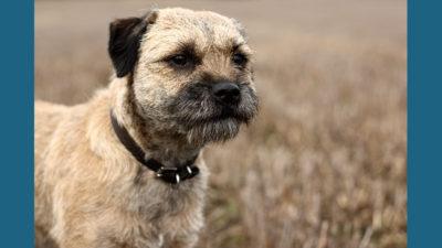 Border Terrier 6