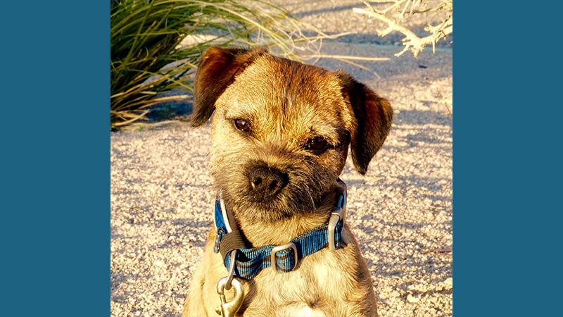 Border Terrier 7