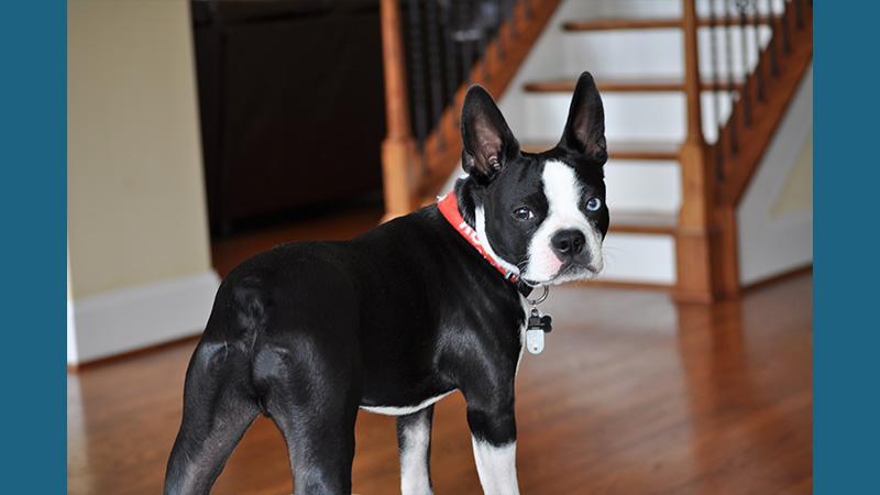 Boston Terrier 10