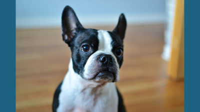 Boston Terrier 13