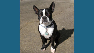 Boston Terrier 15