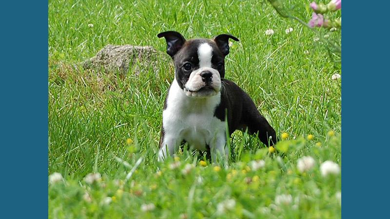 Boston Terrier 2