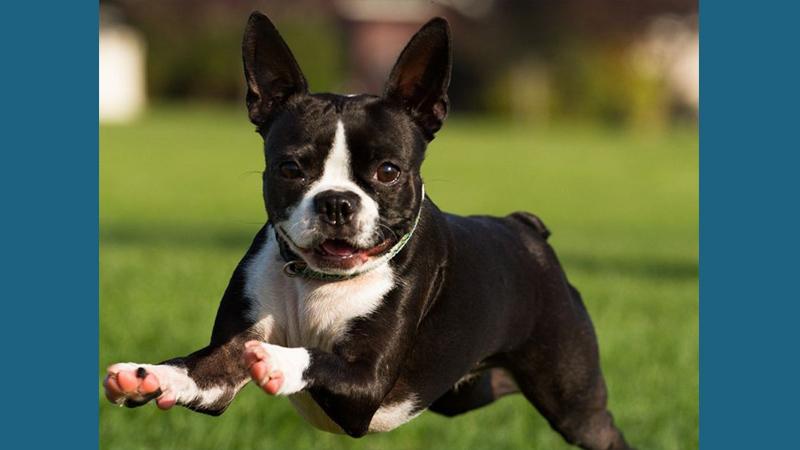 Boston Terrier 4