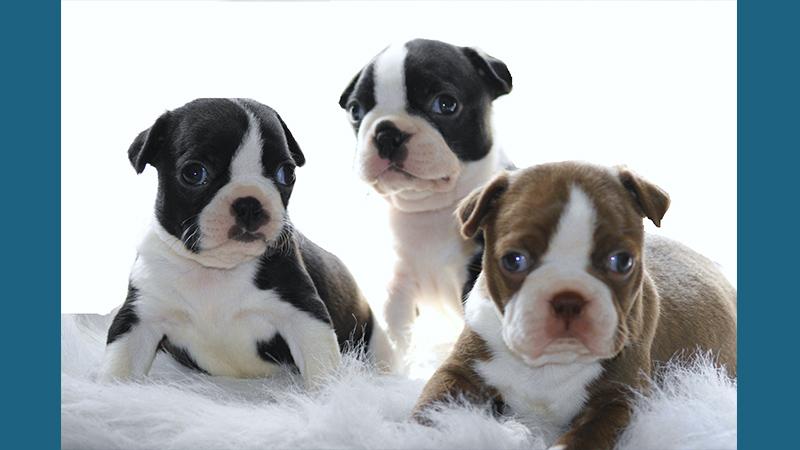 Boston Terrier 5