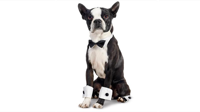 Boston Terrier 6