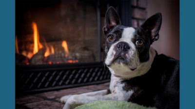 Boston Terrier 9