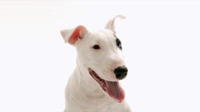 Bull Terrier 1