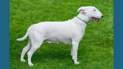 Bull Terrier 10