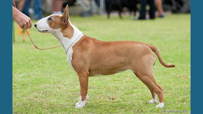 Bull Terrier 5