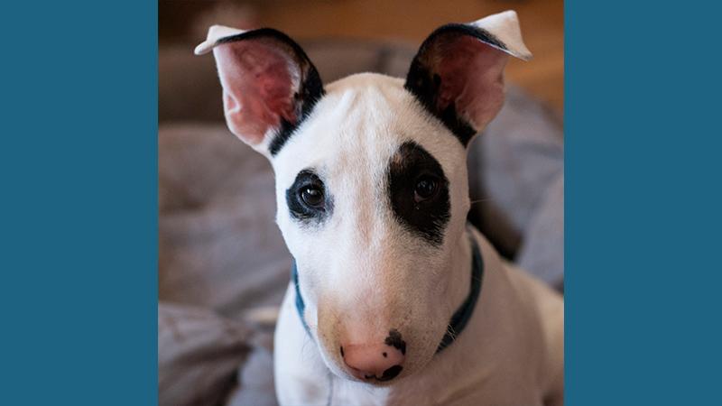Bull Terrier 7