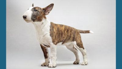 Bull Terrier 9