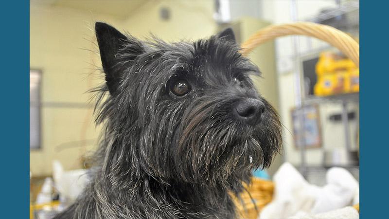 Cairn Terrier 10