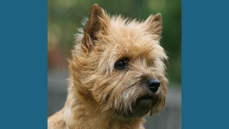 Cairn Terrier 11