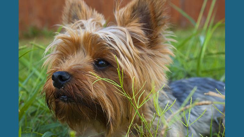 Cairn Terrier 12