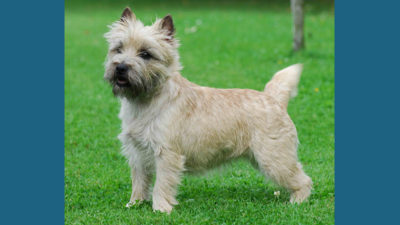 Cairn Terrier 13