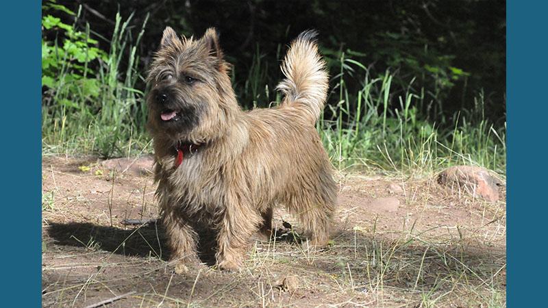 Cairn Terrier 15
