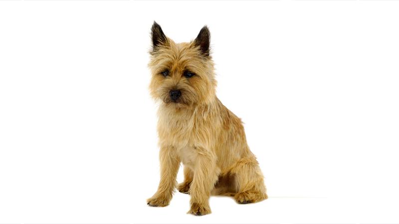 Cairn Terrier 3