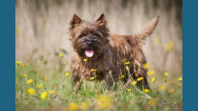 Cairn Terrier 5