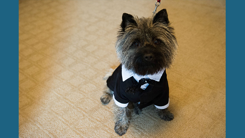 Cairn Terrier 6