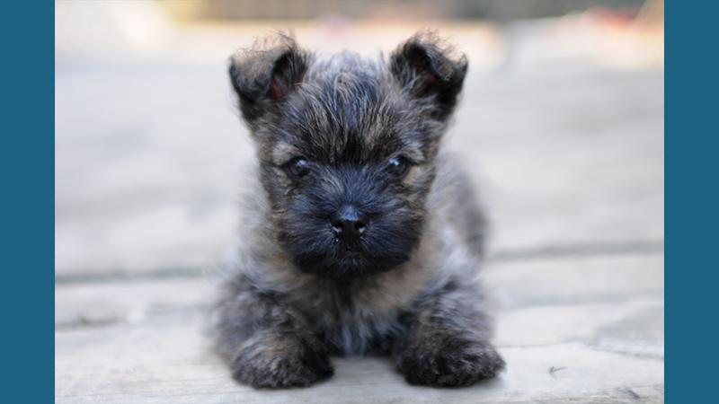 Cairn Terrier 7