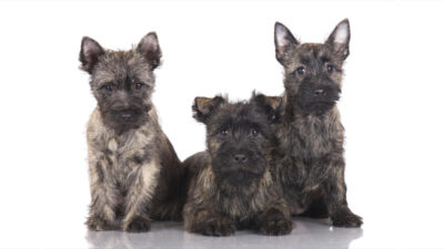 Cairn Terrier 8