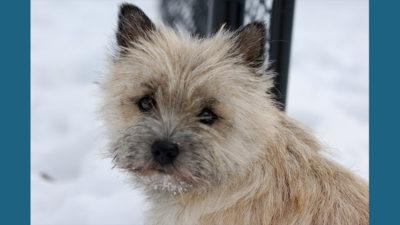 Cairn Terrier 9