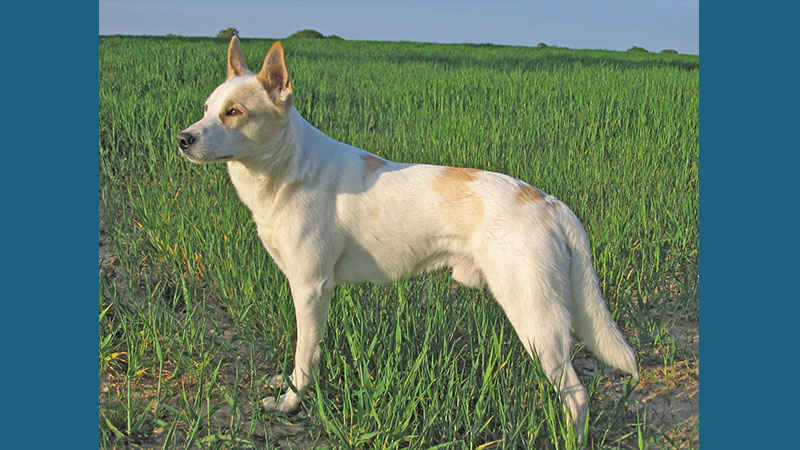 Canaan Dog 1