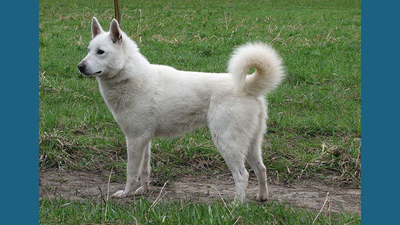 Canaan Dog 3