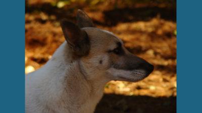 Canaan Dog 4