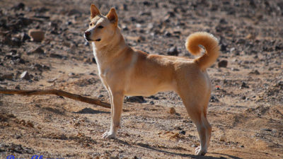 Canaan Dog 8