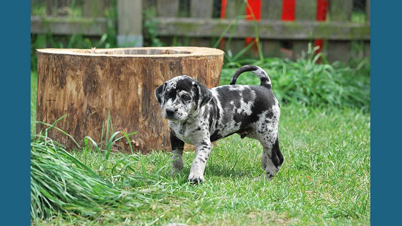 Catahoula Leopard Dog 1